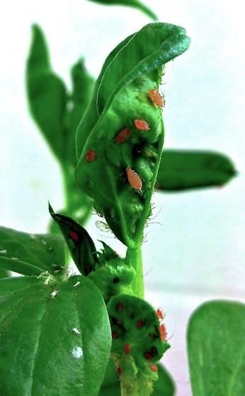 Green and Pink pea aphids - Acyrthosiphon pisum - female