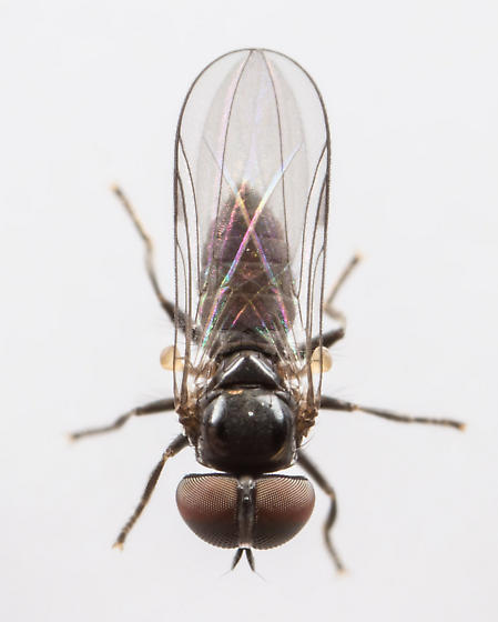Small Fly with Big Eyes - Chalarus