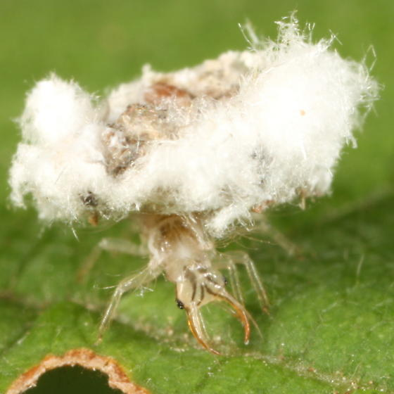 Chrysopid larva