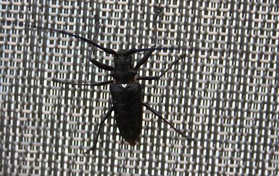 Spruce Sawyer - Monochamus scutellatus - Monochamus scutellatus - male