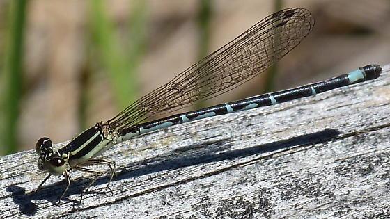 Eastern Forktail, male? - Argia bipunctulata - female