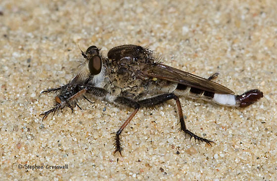 Iowa Robber - Efferia albibarbis - male