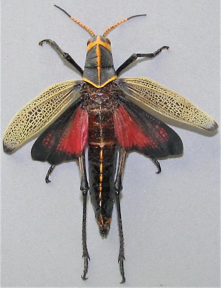 Taeniopoda eques - female