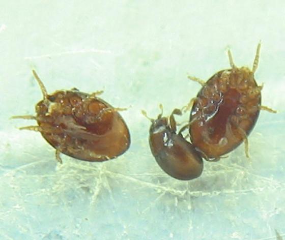 New smallest beetle, plus mites! - Bacanius punctiformis