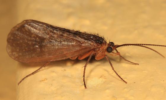 Caddisfly - Pseudostenophylax sparsus