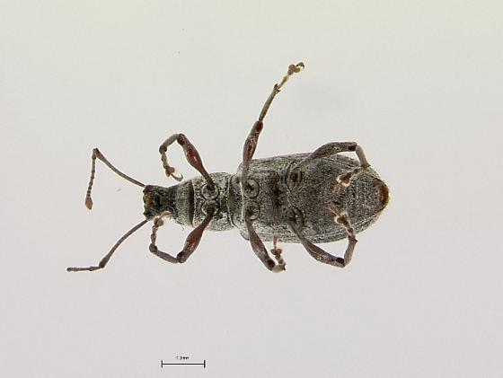 weevil on mushroom - Cyrtepistomus castaneus