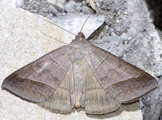 moth - Mocis texana