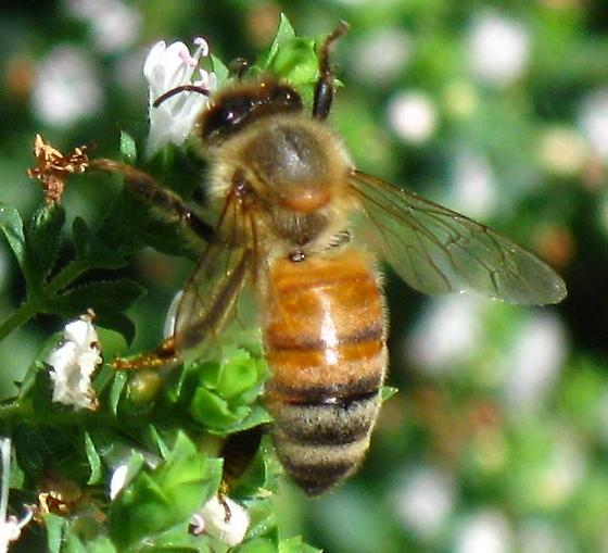 Hitchiker on Honey Bee - Braula coeca