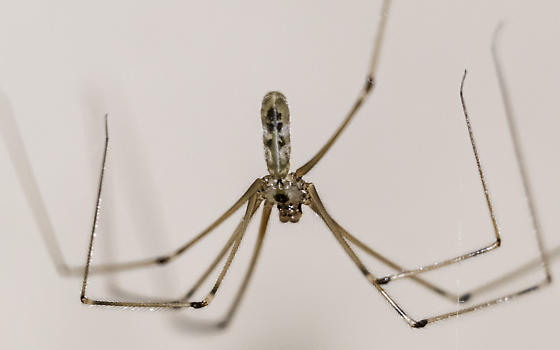 long-bodied cellar spider - Pholcus phalangioides