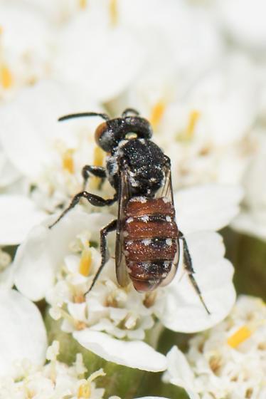 Holcopasites - Holcopasites calliopsidis - female