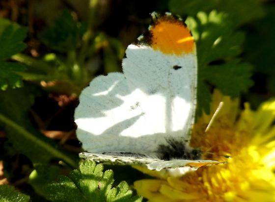 Falcate Orangetip (Anthocharis midea)  - Anthocharis midea - male