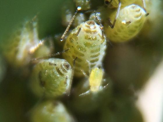 Lipaphis pseudobrassicae
