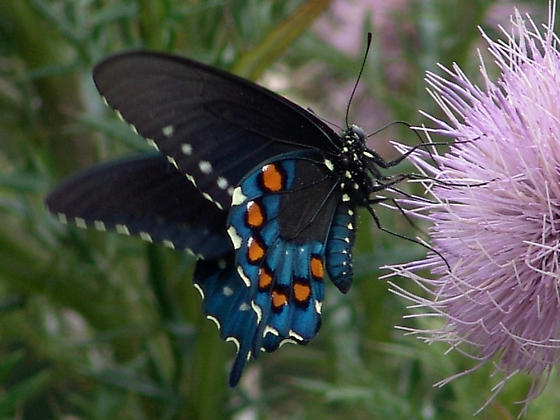 I think this is Battus philenor... - Battus philenor - male