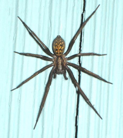 HOUSE SPIDER???  Isn't it too big?? - Eratigena duellica