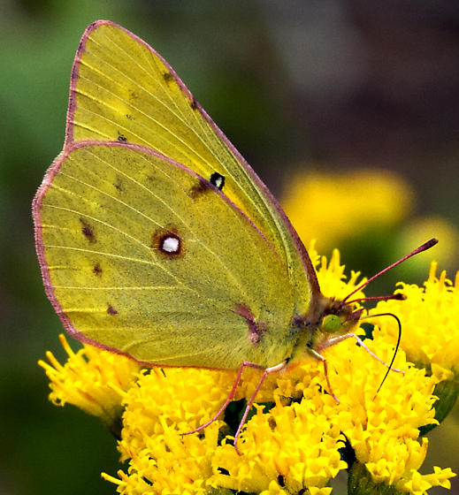 Orange Sulphur - Colias eurytheme