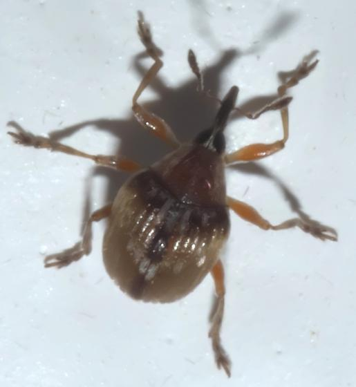 Small, black and brown weevil (2) - Nanodactylus obesulus