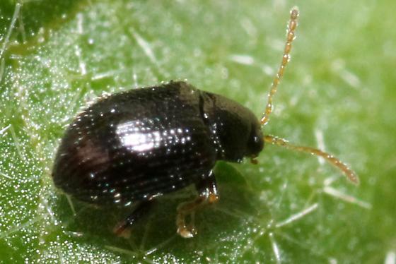 Epitrix   - Epitrix cucumeris
