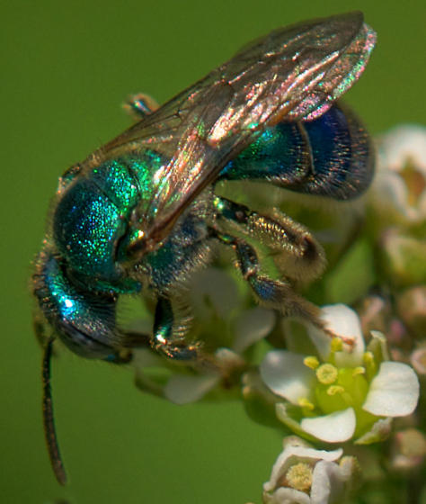 Some kind of sweat bee? - Augochloropsis - female