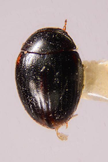 Aquatic beetle? - Cercyon
