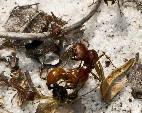 Florida Harvester Ants; - Pogonomyrmex badius