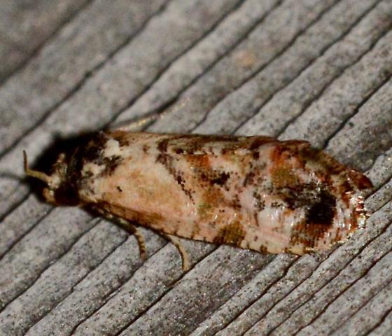 Hoffman's Cochlid Moth? - Cochylichroa hoffmanana