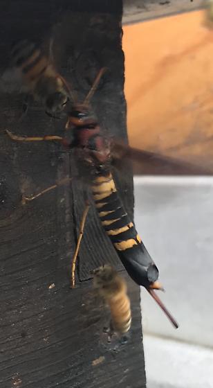 Horntail - Tremex columba