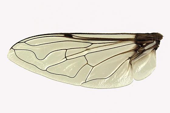 Syrphid Fly - Eristalis dimidiata - female