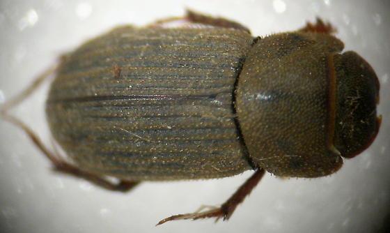 Ataenius sp., imbricatus or maybe insculptus? - Ataenius imbricatus