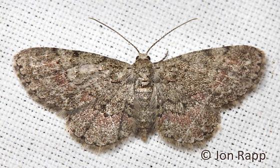 Texas Gray Moth - Glenoides texanaria - female