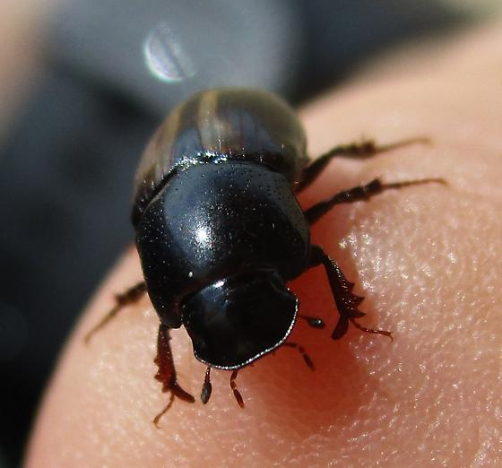 Shiny Beetle with Mite Hitchhiker - Phaeaphodius rectus