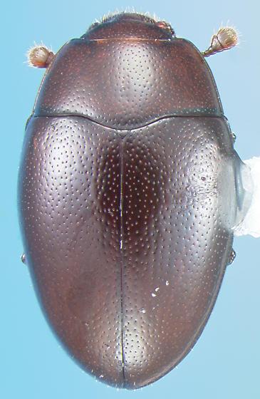 Cerylonid - Hypodacne punctata