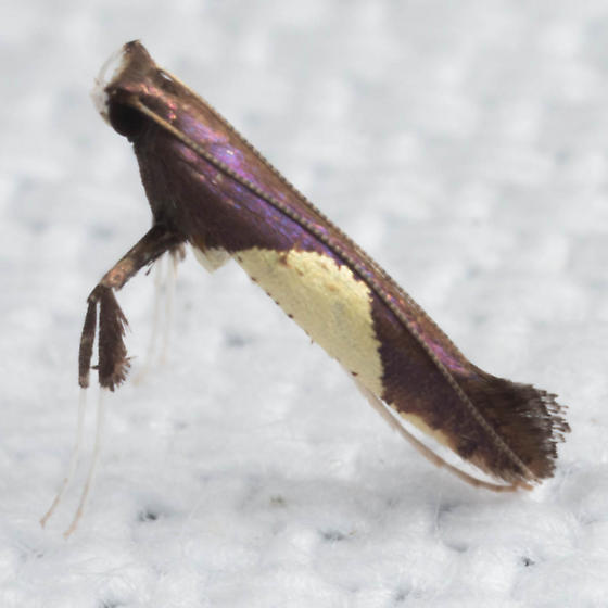 Caloptilia bimaculatella? - Caloptilia