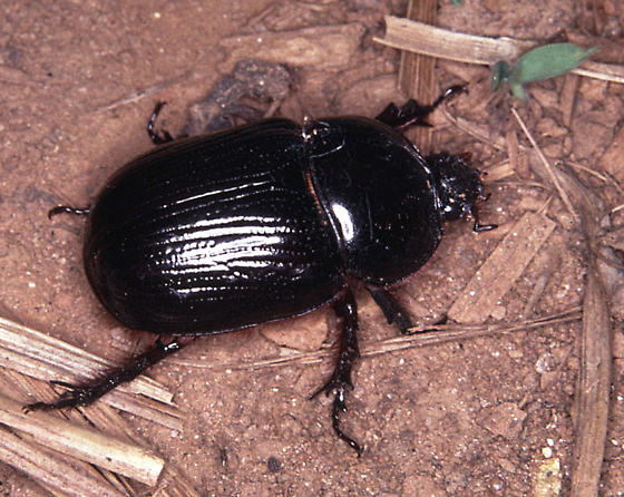 Bedford County beetle - Xyloryctes jamaicensis