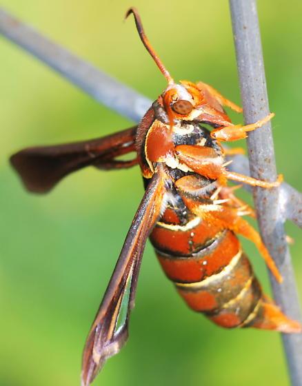 Grape Root Borer Moth - Vitacea polistiformis - female