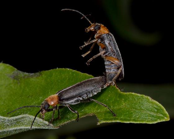 Unknown mating soldier beetles (Rhagonycha) - Osphya varians - male - female
