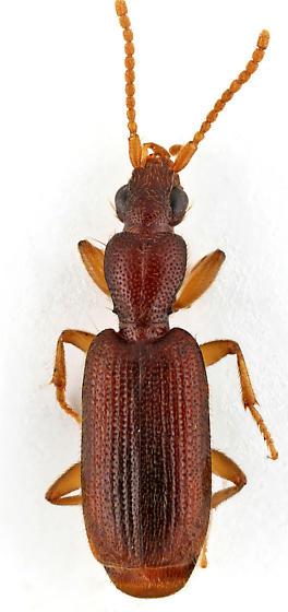 Carabid - Thalpius pygmaeus