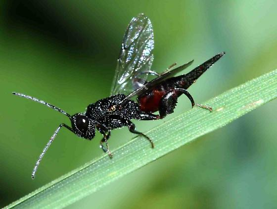 ?Chalcidid wasp - Phasgonophora sulcata - female
