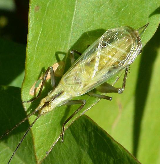 Oecanthus nigricornis? - Oecanthus nigricornis - male