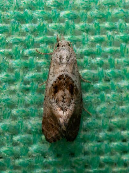 Cochylis temerana - Cochylichroa temerana