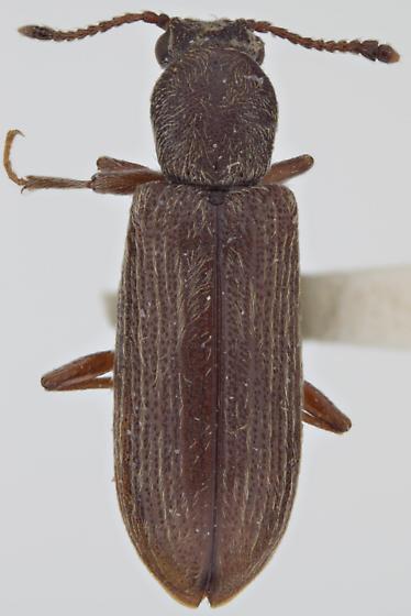 Lyctus opaculus