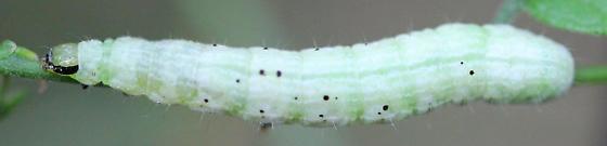 caterpillar - Megalographa biloba