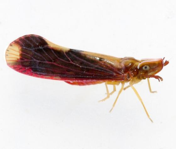 planthopper - Otiocerus stollii