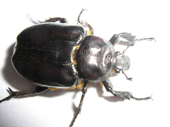 Beetle found on porch of old house in Eastern North Dakota.  - Osmoderma subplanata