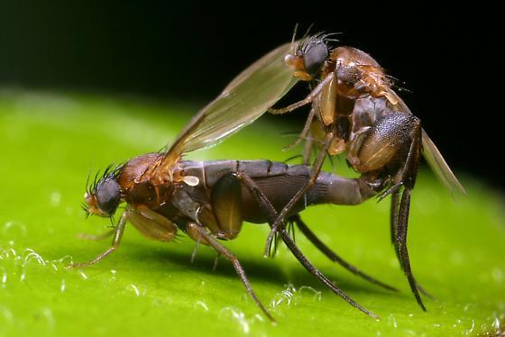 mating flies - Chaetopleurophora