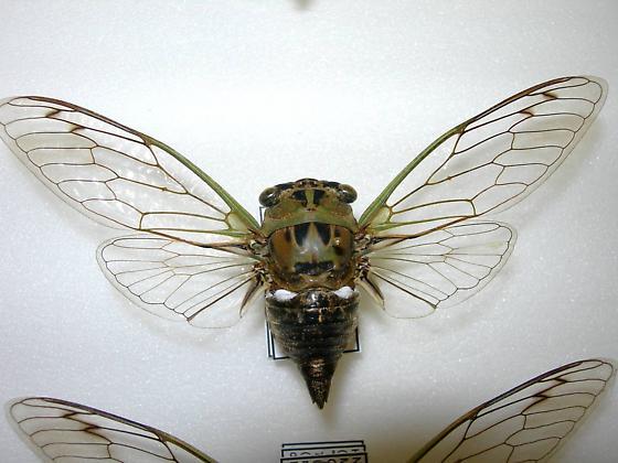 Tibicen pruinosus - Neotibicen pruinosus - female