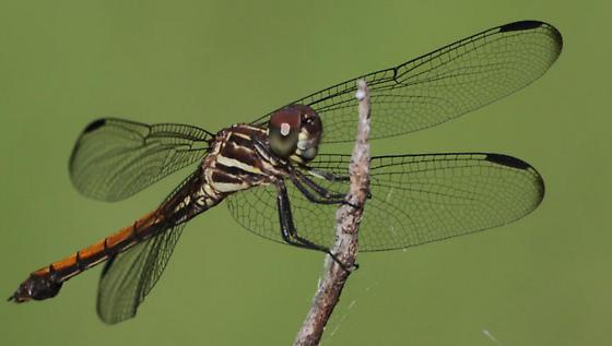 Roseate Skimmer? - Cannaphila insularis - female