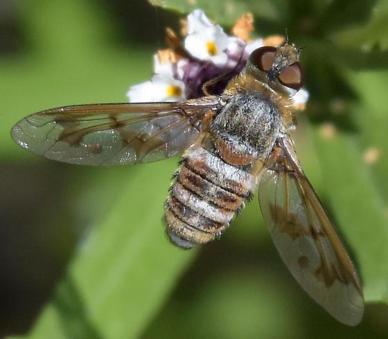 Exoprosopa doris - Exoprosopa butleri - female