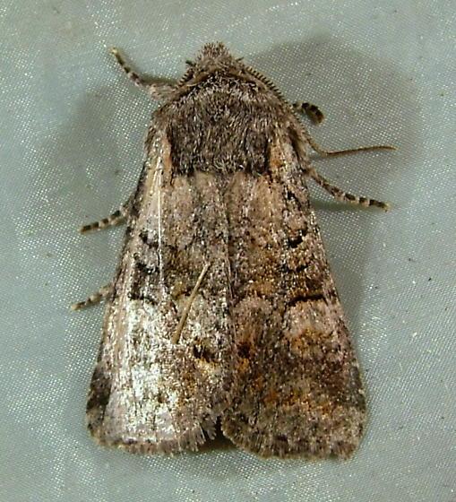 Brachylomia thula 9997 - Brachylomia thula
