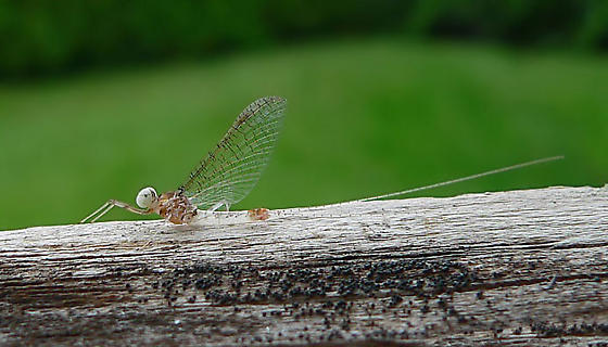 Mayfly to identify please... - Maccaffertium