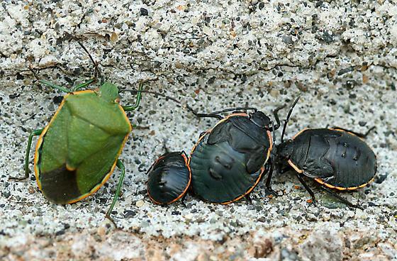 Stink Bug Stages - Chlorochroa